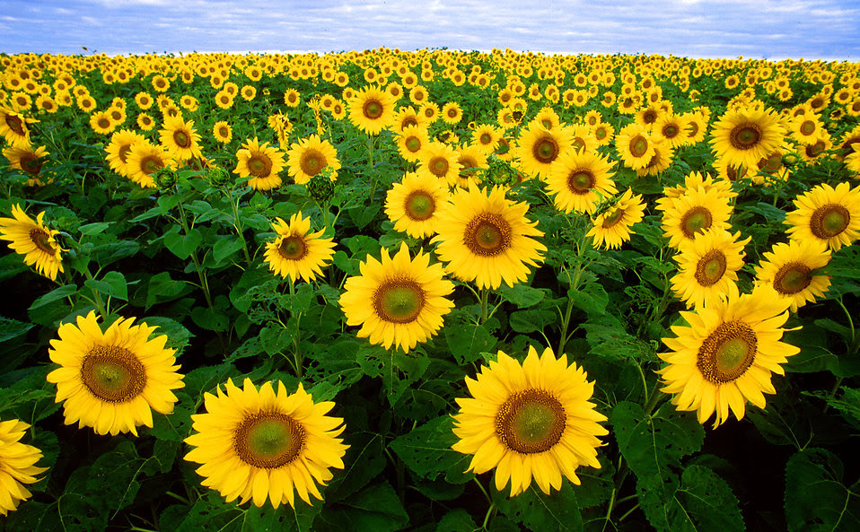 Sunflowers   Free Stock Photo   Sunflowers in a field ...