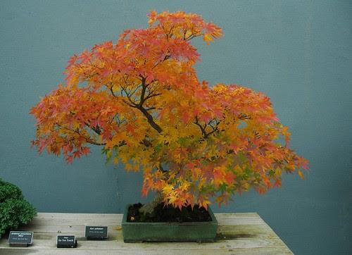 Bonsai, Acer palmatum