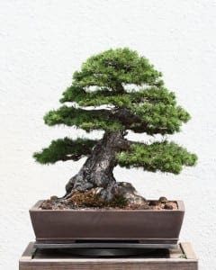 Pine Bonsai Tree