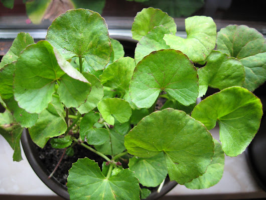 8 Benefits of Gotu kola to Improve Your Health & Skin