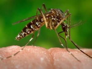 Aedes aegypti, que transmite dengue e chikungunya, também pode transmitir o zika vírus (Foto: CDC-GATHANY/PHANIE/AFP)
