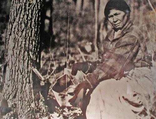 Chippewa woman gathers maple sap
