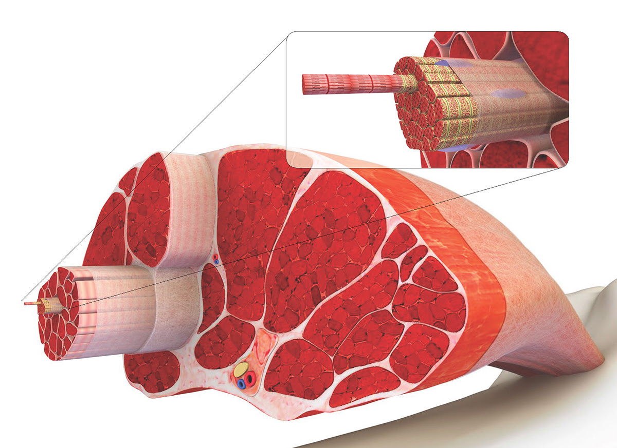 muscle structure cross section