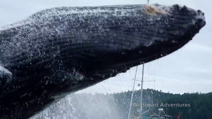 TREND ESSENCE: Get back! Breaching whale's close encounter shocks kayakers