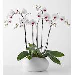 1-800 Flowers Simply Elegant Orchid Garden - Plants