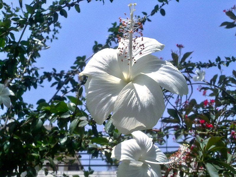 File:Hibiscus white at Karnal.jpg