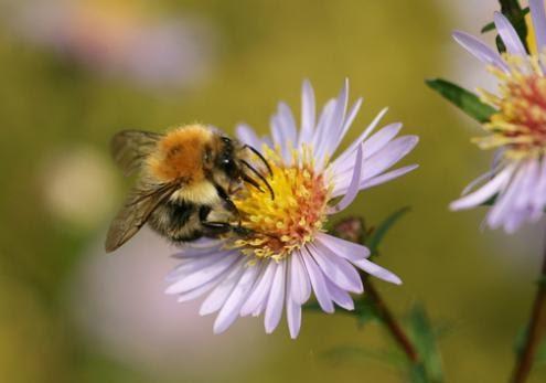 As abelhas estão a ficar sem tempo, alertam associações ambientais dos EUA