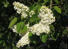 white lilac :: hvit syrin