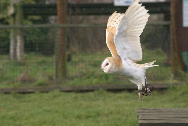 DSC_5415 Barn Owl