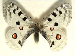 Parnassius.apollo.mounted.jpg