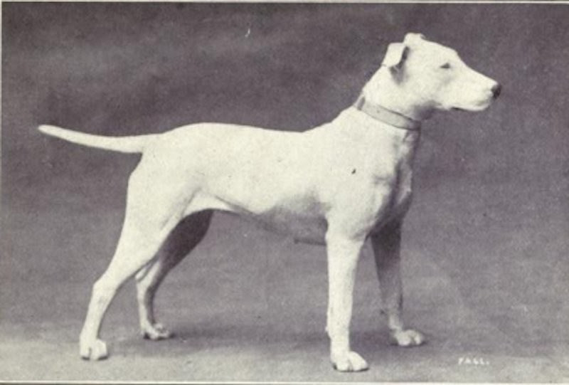 bull terrier (Foto: Dogs of All Nation)
