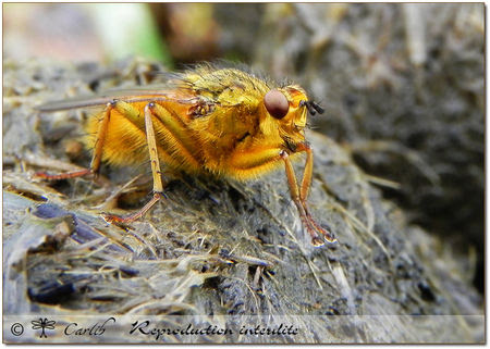 Scathophaga_stercoraria_P3963