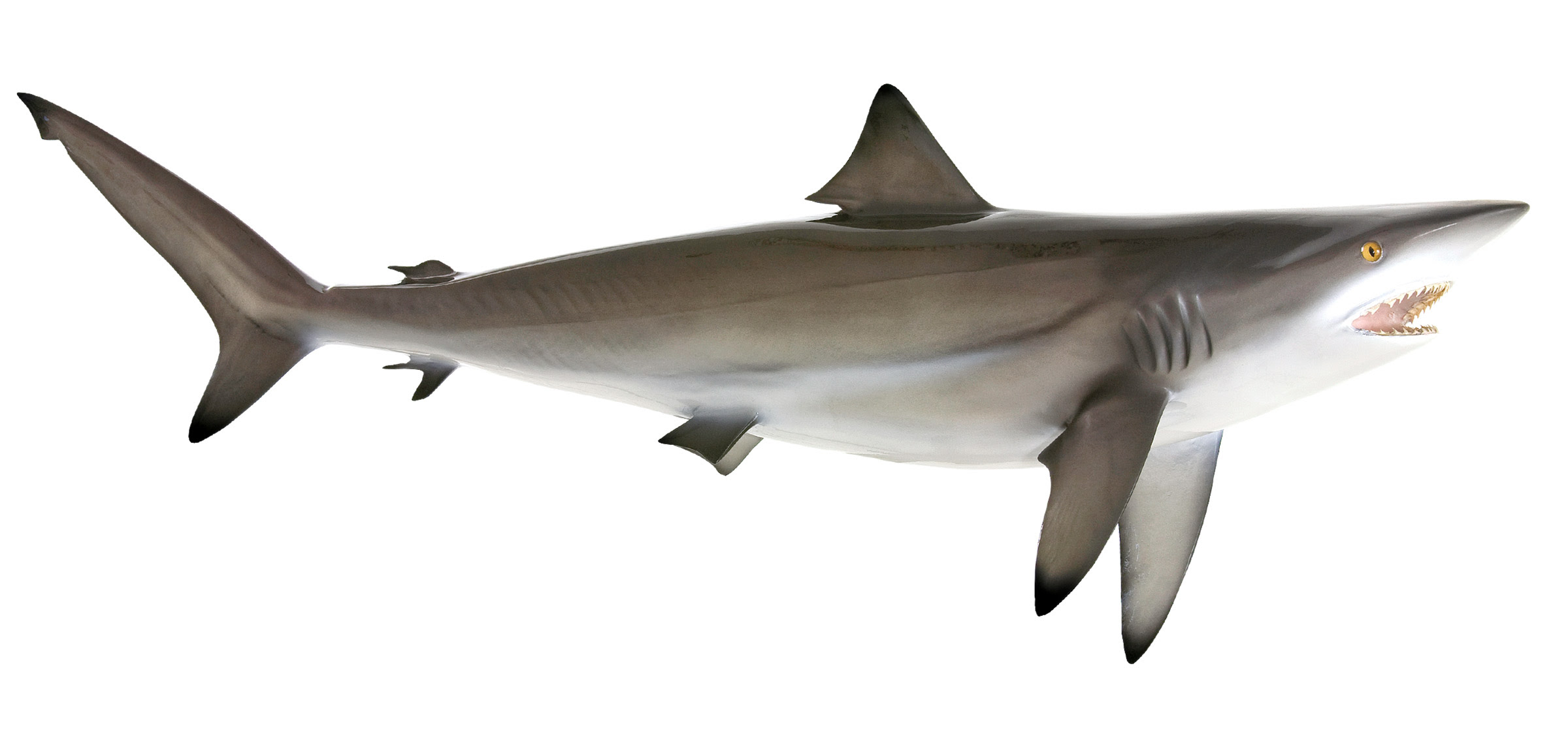 blacktip shark Zoom