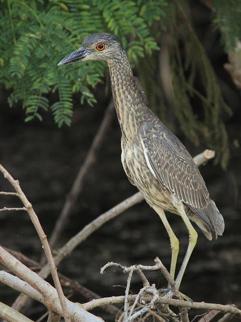 Yellow-crowned Night-Heron immature 20121202