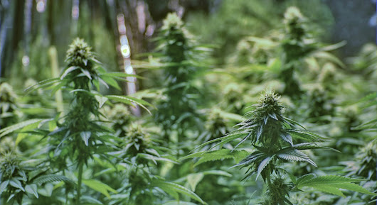 California Releases a Comprehensive Checklist for Cannabis Growers Ahead of Licensing - News | MERRY JANE