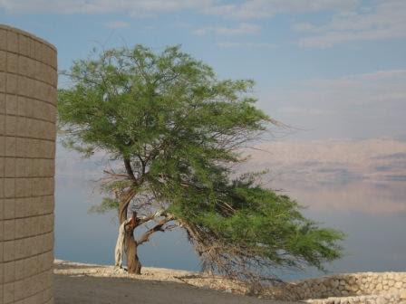 Boom bij de Dode Zee, met in de verte Jordanië