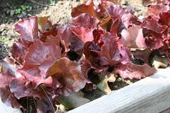 lettuce Butterhead Red, Skyphos  071