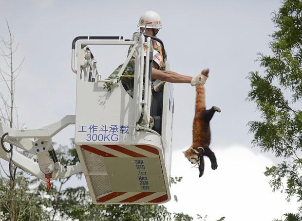 Bombeiro retira panda-vermelho do topo de árvore na China (Foto: Stringer/Reuters)
