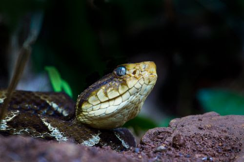 The deadliest snakes in Costa Rica