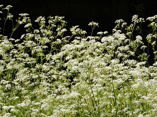 in praise of cow parsley
