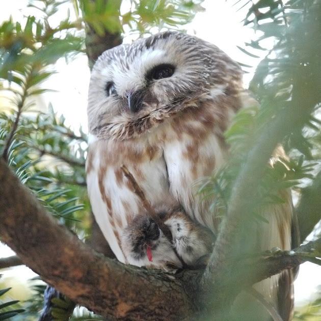 Ed Gaillard: birds &emdash; Northern Saw-Whet Owl, Central Park
