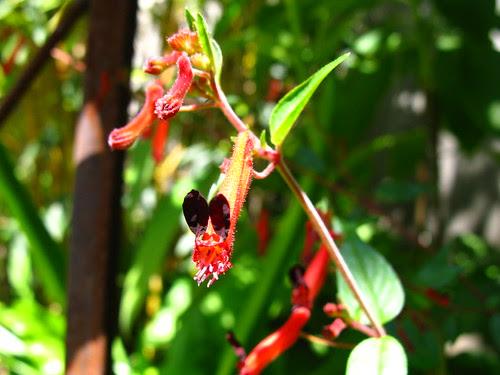 Cuphea pinetorum syn. Cuphea 'Minnie Mouse'