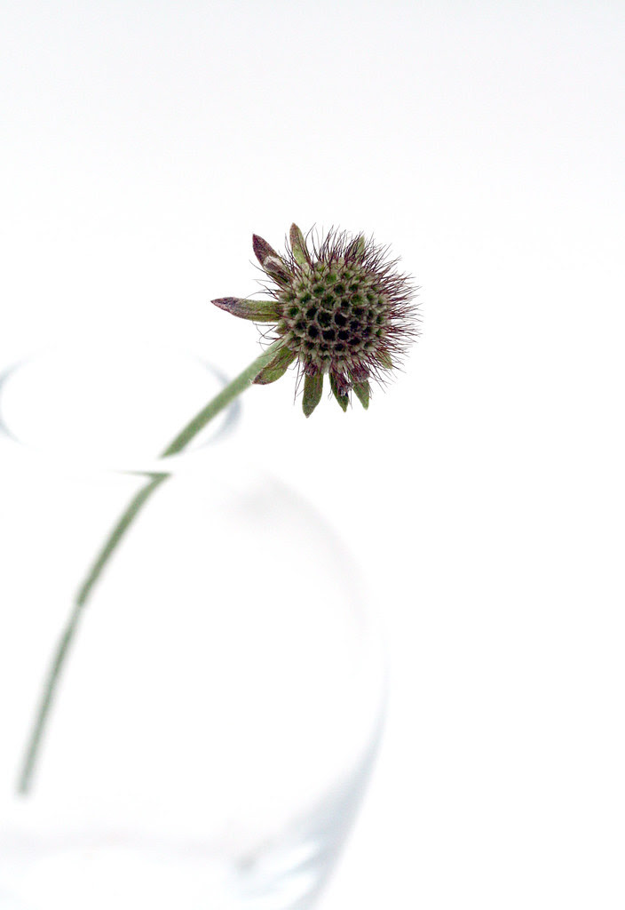 Scabiosa going to seed