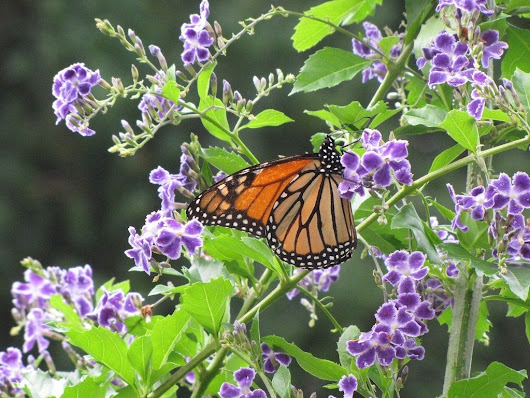 Care Of Duranta: How To Grow Duranta Plants