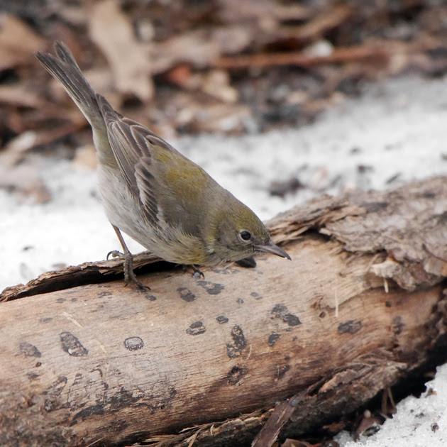 Ed Gaillard: recent &emdash; Pine Warbler, Central Park, late winter