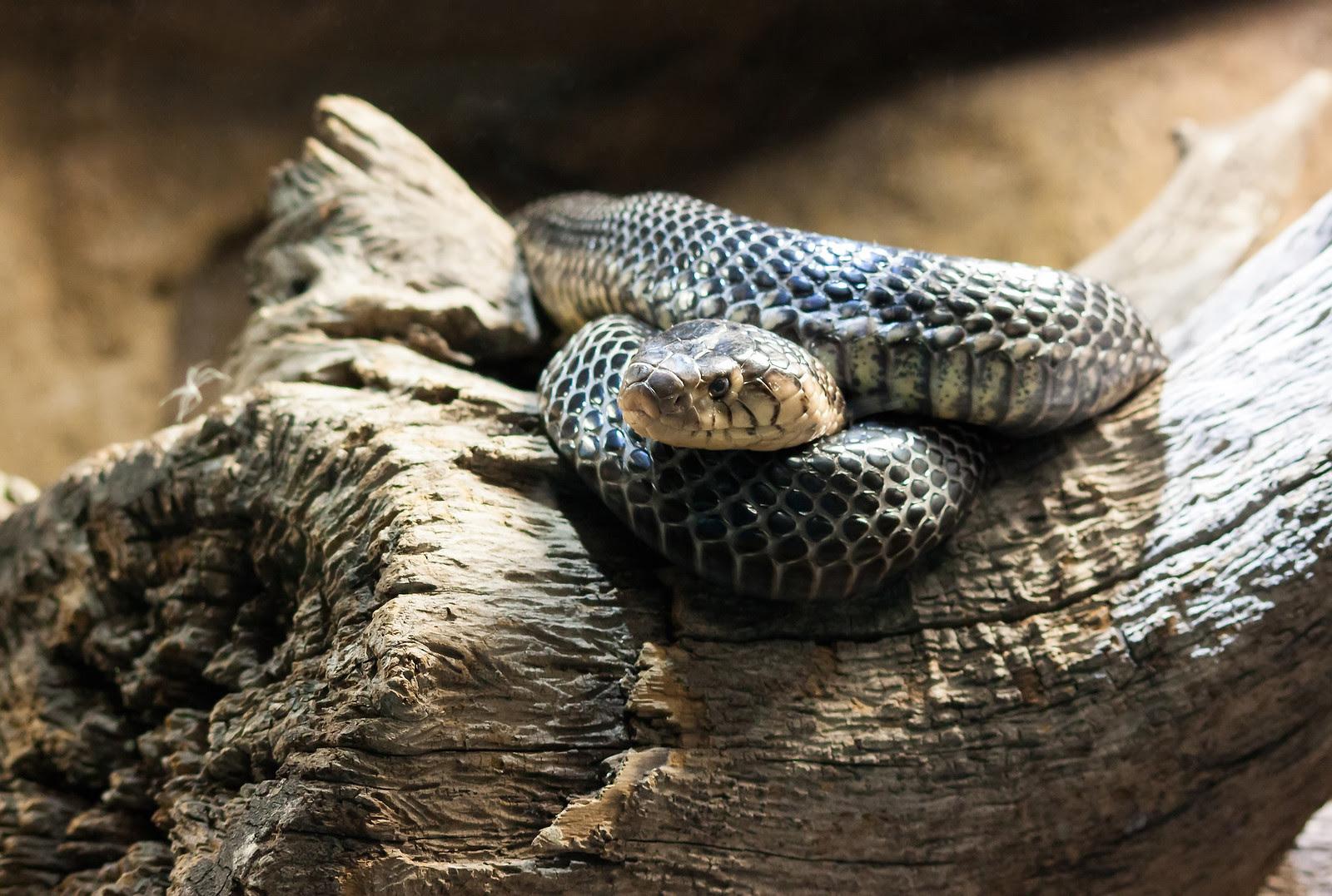 Forest Cobra 2
