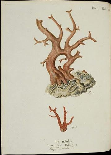 Isis nobilis (Esper coral book)