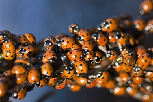 Here's Why You Need More Ladybugs In Your Garden + How To Get Them