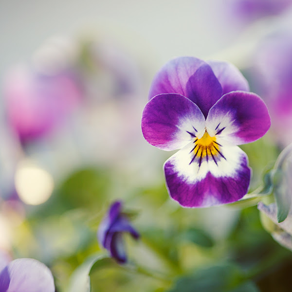 Pansy Love