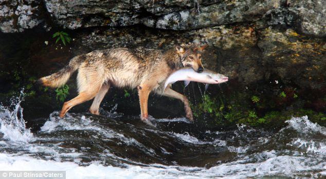 Success: Wet but triumphant the cunning wolf