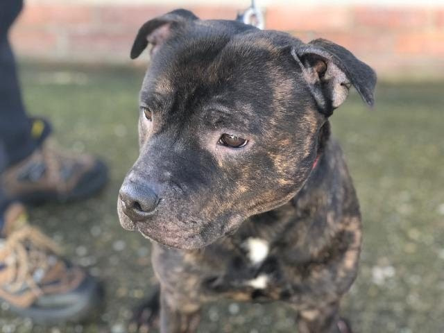 Bandit – 2 year old male Staffordshire Bull Terrier