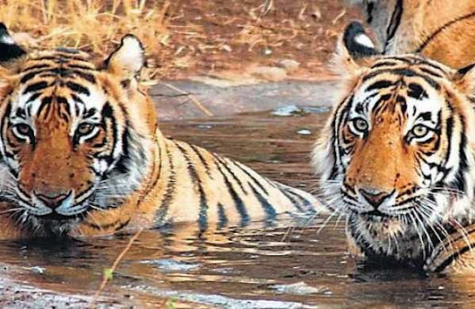 Imports from Assam to augment tiger population in West Bengal reserve- The New Indian Express