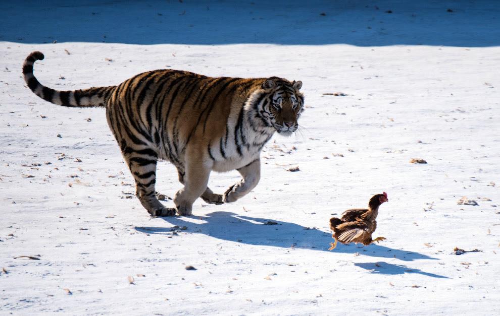 У парку в місті Харбін, Китай у тигрів тренують мисливські інстинкти за допомогою курок