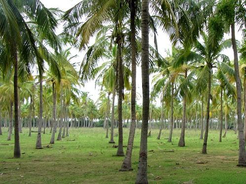 Green coconut grove