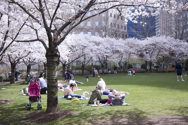Cherry Blossoms, Battery Park