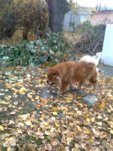 Говорящая собака чау-чау