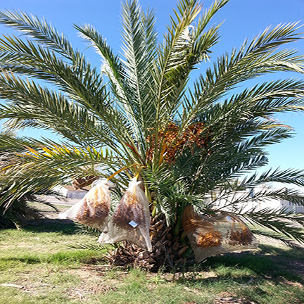 Asu Date Palm Farm Unique In The Us Kjzz