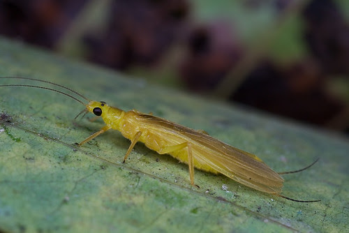 Beautiful stonefly....IMG_0214 DT copy