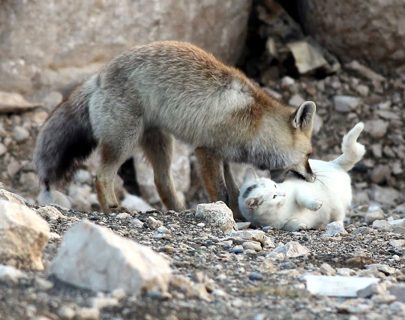 Необычная дружба кошки и лисы. Фото