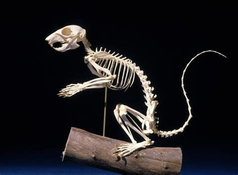 Debunked: Alien Skeleton [Rodent, probably Squirrel]   Metabunk