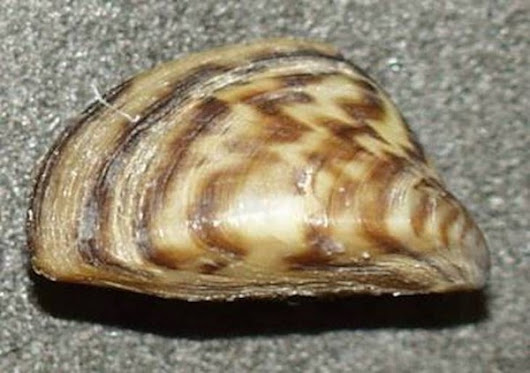 What YOU Need to Know About Zebra Mussels