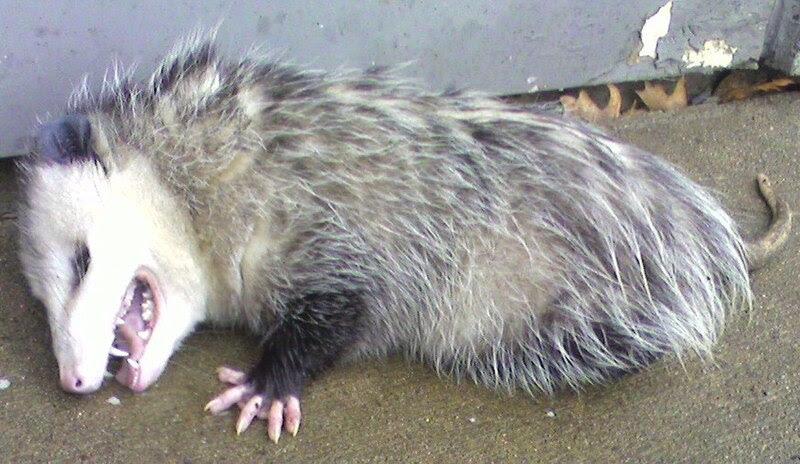 File:Opossum2.jpg