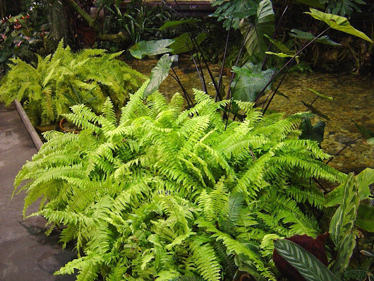 Taking Care Of Outdoor Ferns: How To Take Care Of Ferns In The Garden