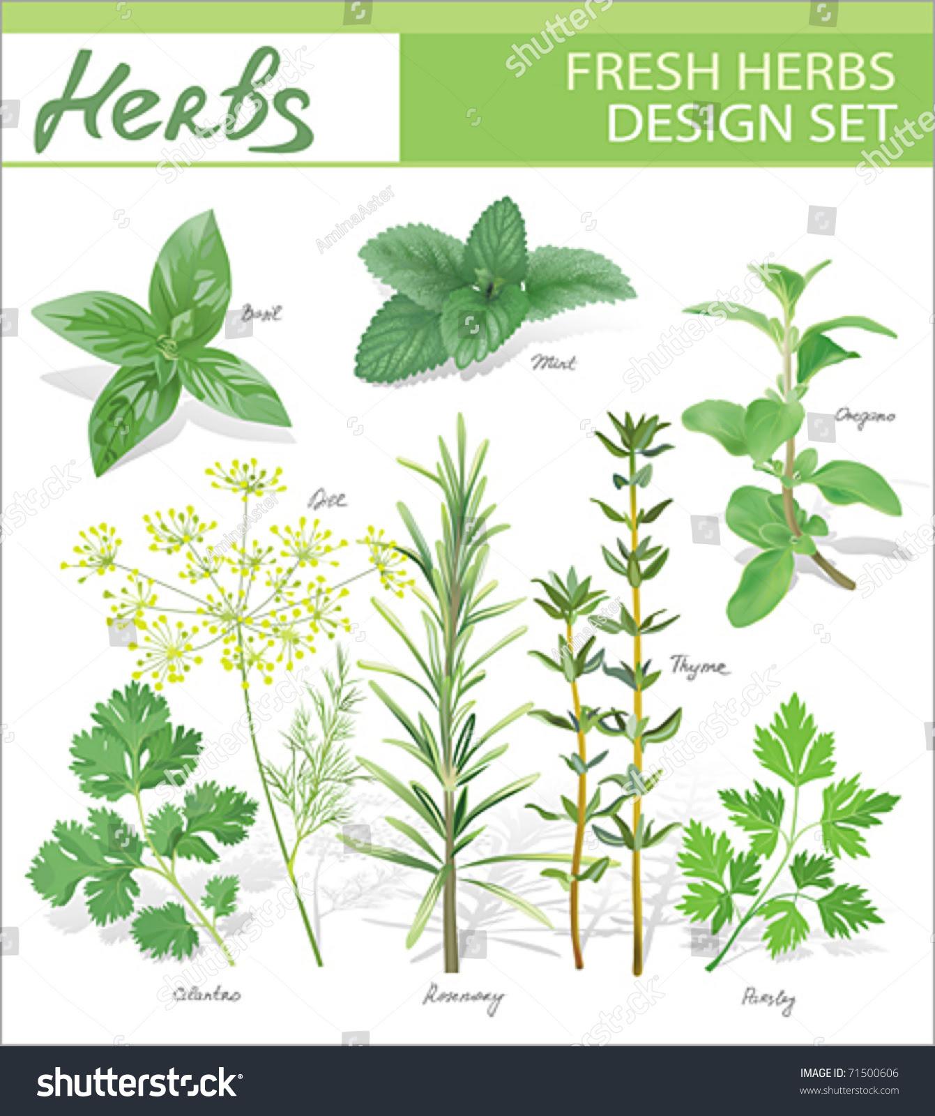Fresh Herbs. Vector