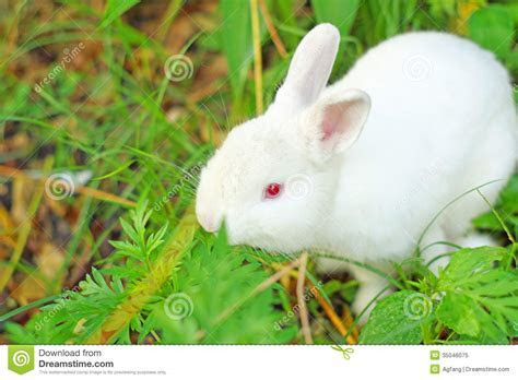 White Rabbit Royalty Free Stock Photo   Image: 35046075
