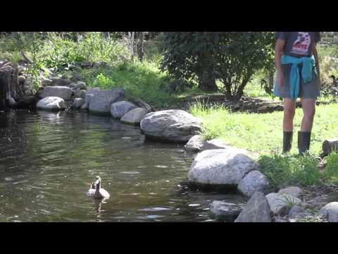 Neglected Ducks Go For Their First Swim